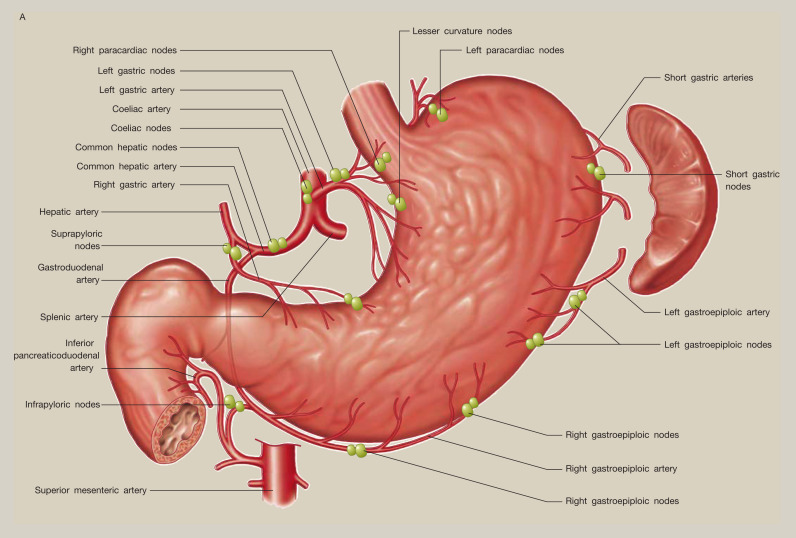 Anatomy Of The Stomach Sciencedirect