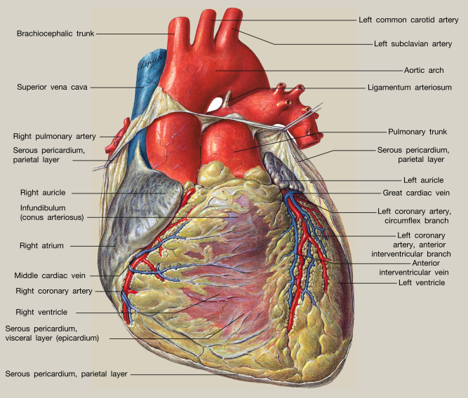 Anatomy Of The Heart Sciencedirect