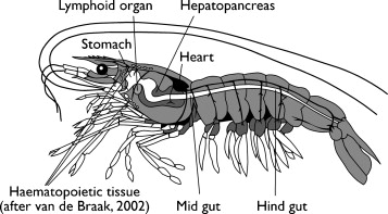 """Vaccination"""" of shrimp against viral pathogens: Phenomenology and ..."""