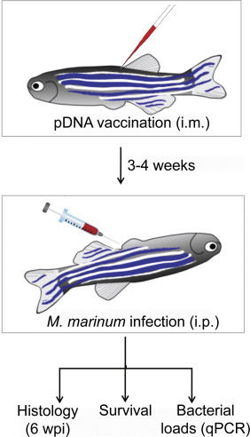 An adult zebrafish model for preclinical tuberculosis vaccine