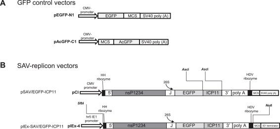 Salmonid alphavirus replicon is functional in fish