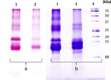 Cell wall structure of mushroom sclerotium (Pleurotus tuber regium