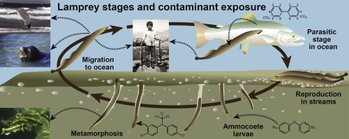 Reconnaissance Of Contaminants In Larval Pacific Lamprey