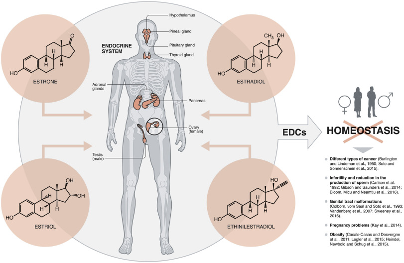 Water contamination by endocrine disruptors: Impacts