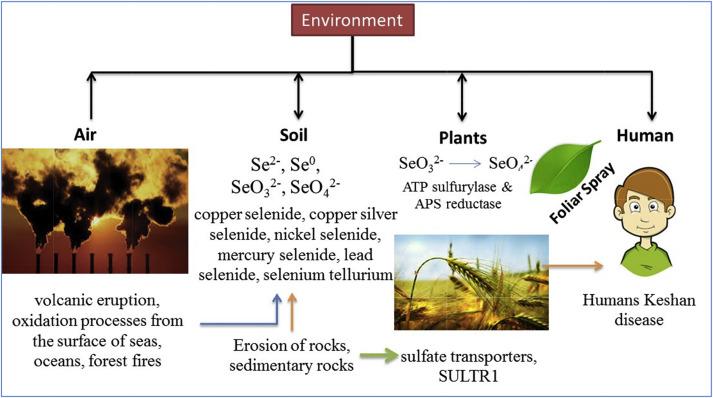 A Critical Review Of Selenium Biogeochemical Behavior In Soil Plant