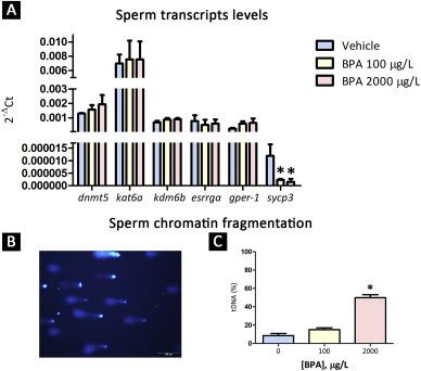 Male exposure to bisphenol a impairs spermatogenesis and