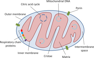 Mitochondria In Acute Kidney Injury Sciencedirect