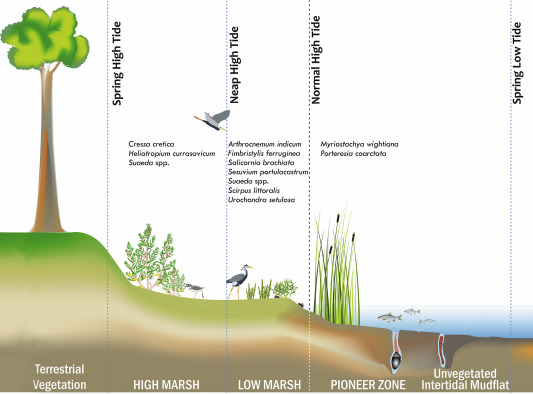 Salt Marsh Vegetation In India Species Composition Distribution Zonation Pattern And Conservation Implications Sciencedirect