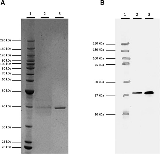 Characterization and safety evaluation of HPPD W336, a