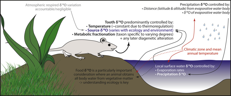 Digesting the data - Effects of predator ingestion on the oxygen