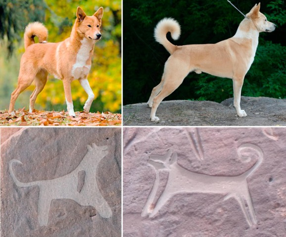 Top: Canaan dogs with typical characteristics of pricked ears, short shouts, ...