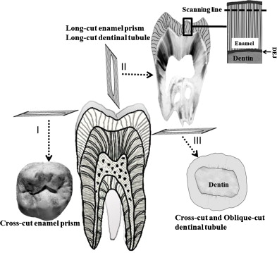 Effects Of Structural Orientation Of Enamel And Dentine On Light
