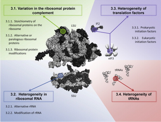 Heterogeneity of the translational machinery: Variations on a common theme  - ScienceDirect