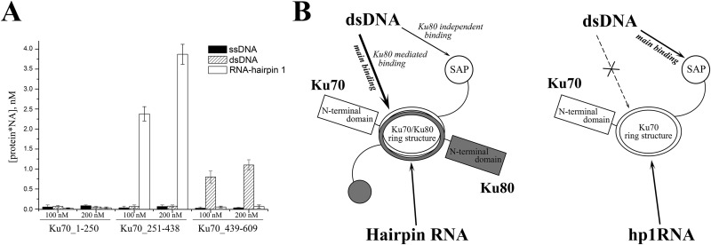 human ku70 protein binds hairpin rna and double stranded dna through RNA Strand fig