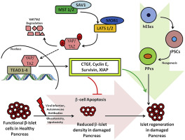 Emerging role of Hippo signalling in pancreatic biology: YAP re