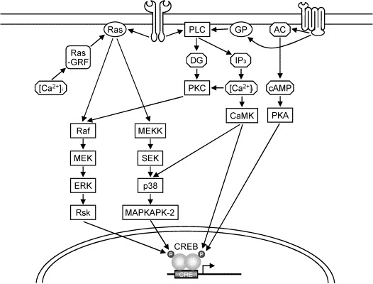 Nuclear Transcription Factors In The Hippocampus