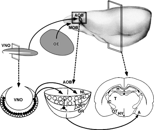Structure And Function Of The Vomeronasal System An Update