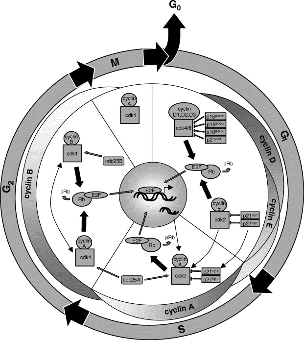 Synaptic Plasticity And Cell Cycle Activation In Neurons Are