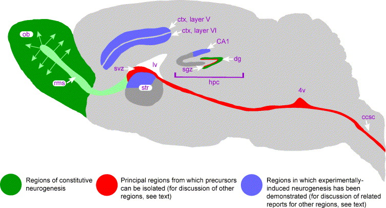 Adult neurogenesis and repair of the adult cns with neural schematic diagram showing the two constitutively neurogenic regions of the adult mammalian cns green svzolfactory bulb and hippocampal dentate gyrus ccuart Gallery