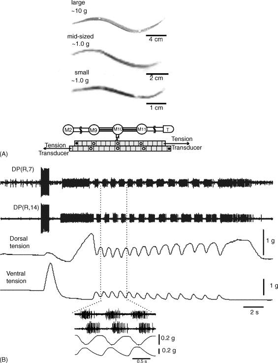 Neuronal control of leech behavior - ScienceDirect
