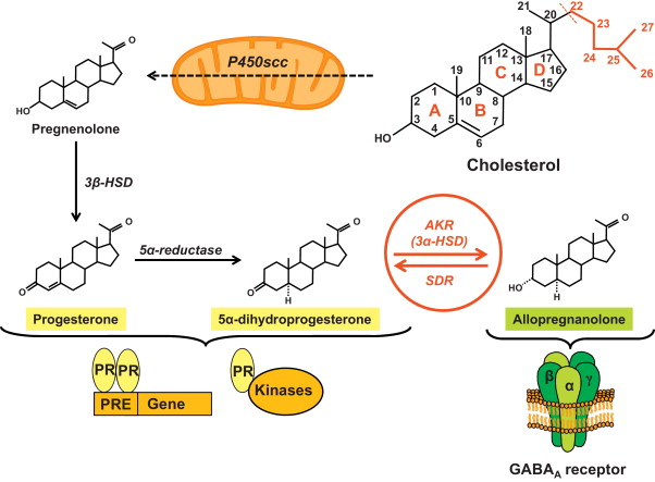 Revisiting the roles of progesterone and allopregnanolone in