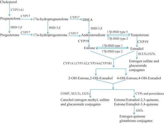 Estrogen associated gene polymorphisms and their