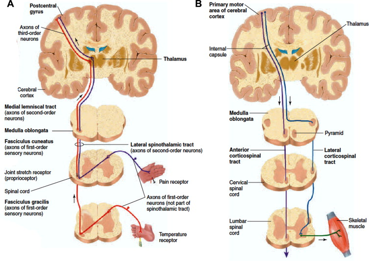 From basics to clinical: A comprehensive review on spinal cord ...