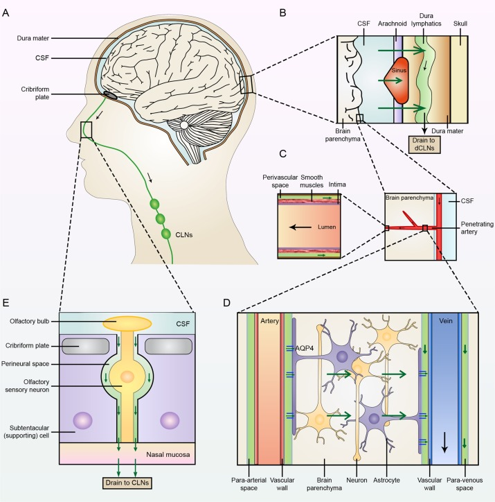 Lymphatic Drainage System Of The Brain A Novel Target For
