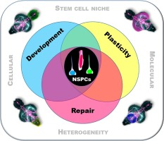 The role of neuro-epithelial-like and radial-glial stem and