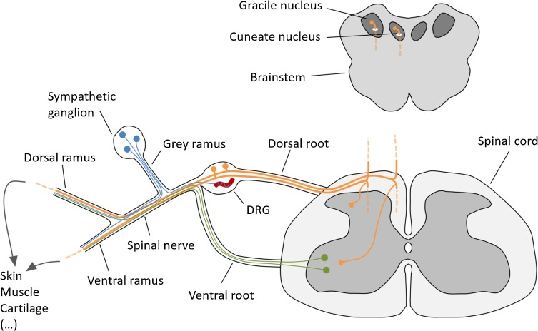The Intriguing Nature Of Dorsal Root Ganglion Neurons Linking