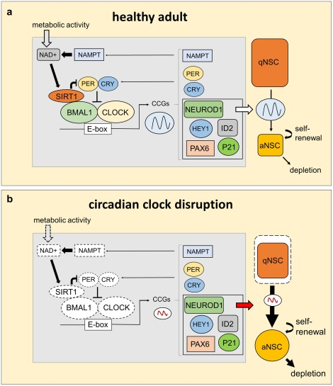 The circadian clock in adult neural stem cell maintenance
