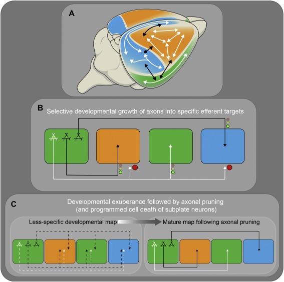 Precision in the development of neocortical architecture