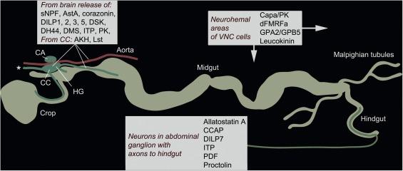 Recent advances in neuropeptide signaling in Drosophila, from genes