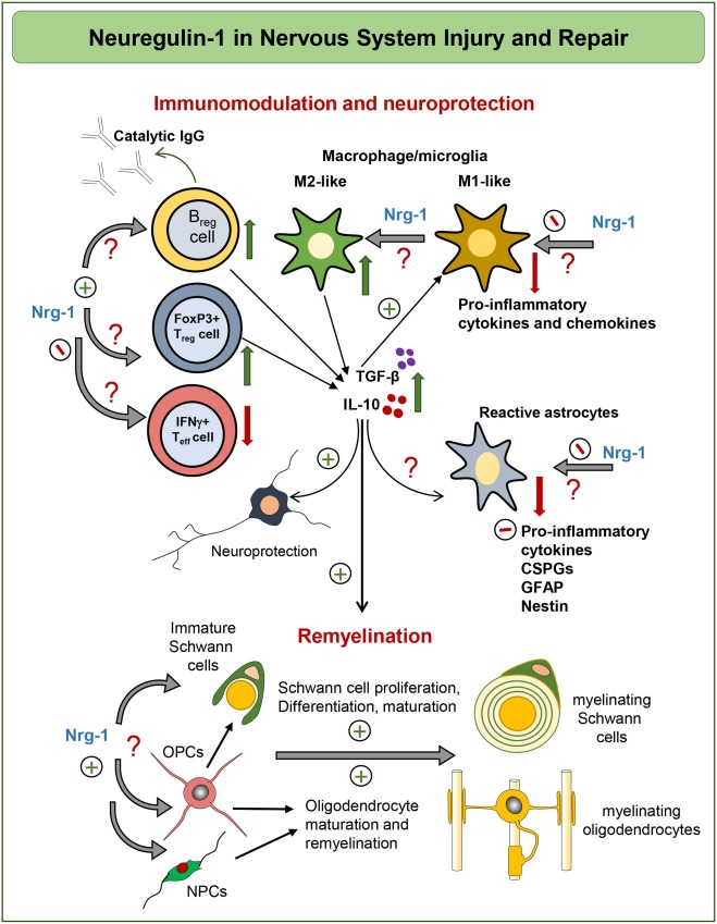 Neuregulin-1/ErbB network: An emerging modulator of nervous