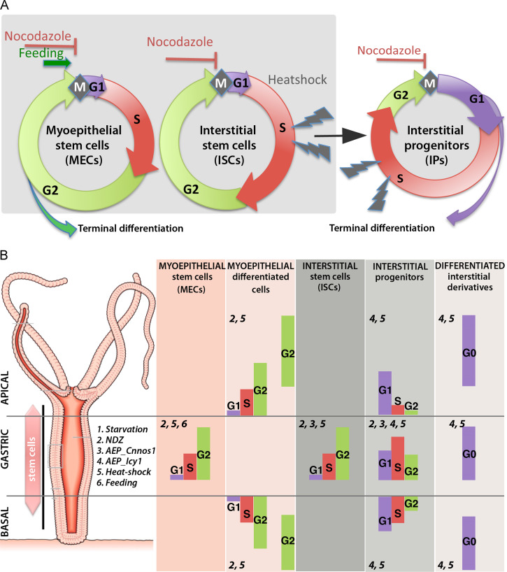 Robust G2 pausing of adult stem cells in Hydra - ScienceDirect