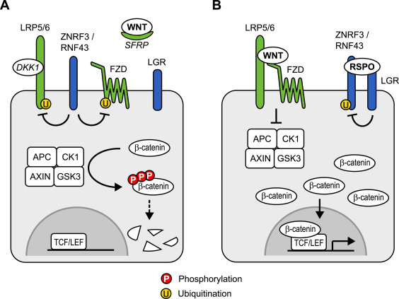 Extrinsic Control Of Wnt Signaling In The Intestine Sciencedirect