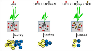 Plant growth promoting rhizobacteria increase the efficiency