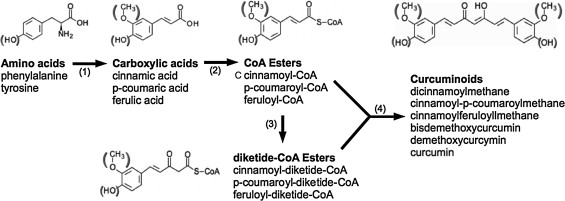 A kinetic model for curcumin production in Escherichia coli