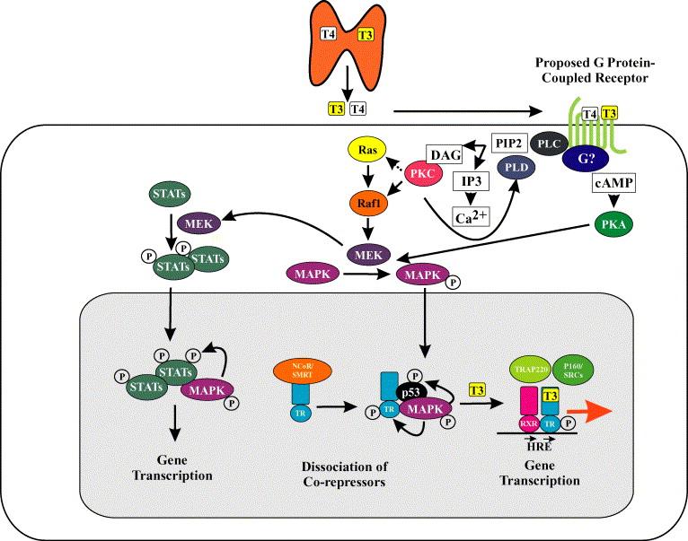 thyroid hormone receptor tyrosine kinase