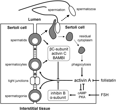 Regulation of activin and inhibin in the adult testis and the ...