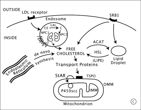 Steroid hormones are synthesized in what organelle of the cell medical steroids and alcohol side effects