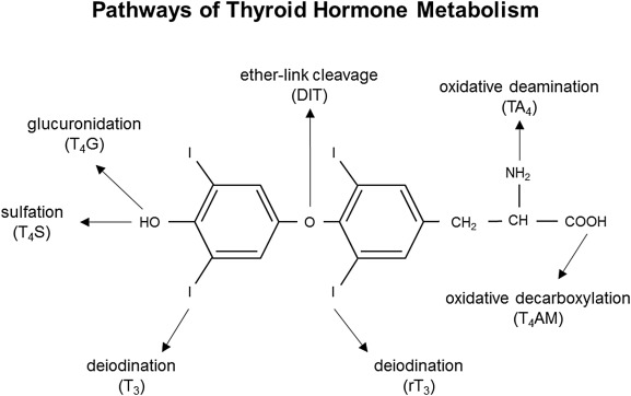 The Classic Pathways Of Thyroid Hormone Metabolism Sciencedirect