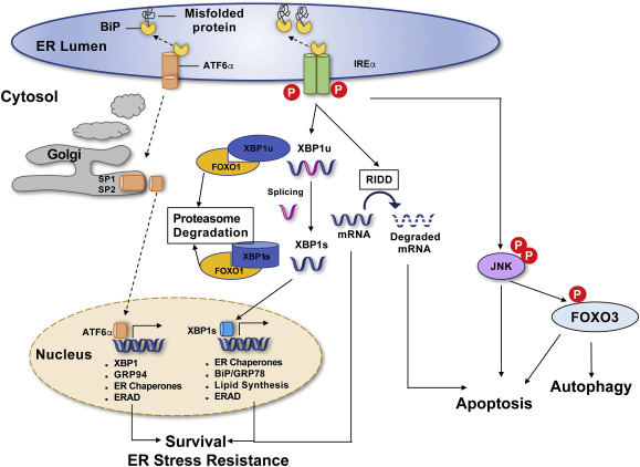 ER stress and cancer: The FOXO forkhead transcription factor