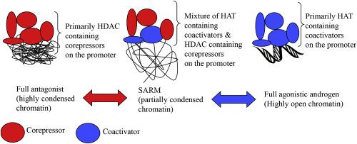 Development of selective androgen receptor modulators (SARMs