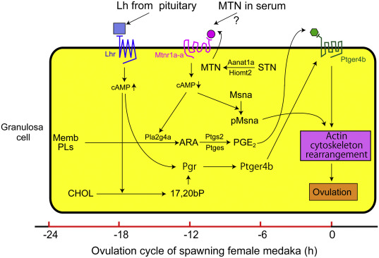 Prostaglandins in teleost ovulation: A review of the roles with a