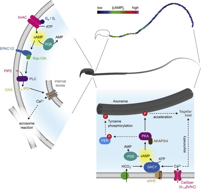 mammalian sperm cell