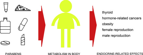 Parabens and their effects on the endocrine system - ScienceDirect