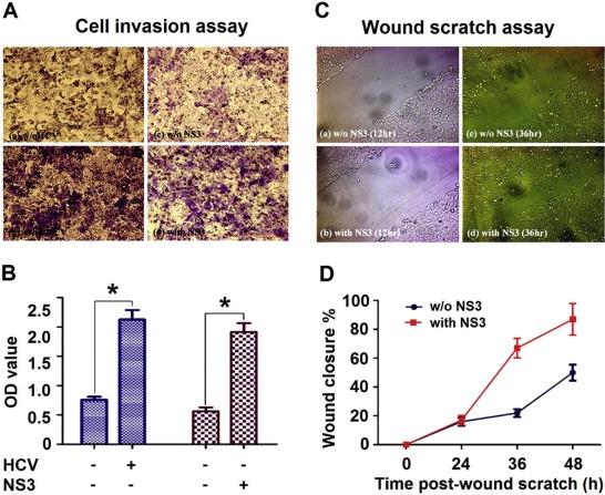 Hepatitis C virus NS3 protein enhances cancer cell invasion