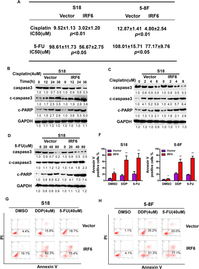 The developmental transcription factor IRF6 attenuates ABCG2
