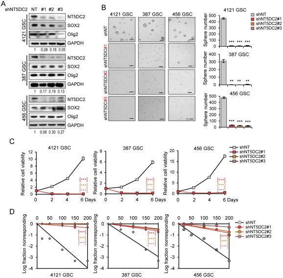 NT5DC2 promotes tumorigenicity of glioma stem-like cells by